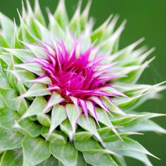 Filling your garden with medicinal plants that have distinct health benefits is a smart use of garden space. You'll be able to use natural remedies, while boosting your immune system and overall health with these powerful plants. 1. Milk Thistle You'll often see Milk Thistle in products labeled...