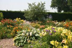 showtuin-hemerocallis (eetbare bloem)