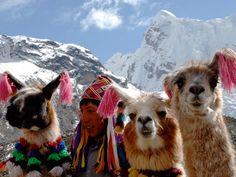 You're more likely to come across a group of llamas or alpacas in Peru Ausangate Trail than you are humans . Alpacas, Machu Picchu, Images Lama, Will Turner, Ecuador, Llama Arts, Cusco Peru, Inca, Peru Travel