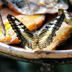 Rare moments to see that many beautiful butterfly getting food from fruit