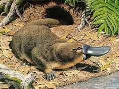 Platypus is a semi-aquatic mammal, considered to be a fusion of a number of other species. With this article, get some interesting facts and amazing information on platypus. Endangered Animals List, Rare Animals, Wild Animals, Funny Animals, Duck Billed Platypus, Australia Animals, Steampunk, Animal Totems, All Gods Creatures