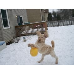 Buddy is a Goldendoodle and is Club Dog Member #278342. Check out the latest activity on the DogChannel.com Community.