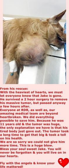 GONE after surgery --- SAFE 4-26-2015 by Rescue Dogs Rock NYC --- SUPER URGENT JAKE – A1034251 NEUTERED MALE, TAN / WHITE, CAIRN TERRIER, 11 yrs STRAY – STRAY WAIT, NO HOLD Reason STRAY Intake condition UNSPECIFIE Intake Date 04/25/2015