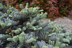 Thuja Smaragd, Succulents, Plants, Succulent Plants, Plant, Planets