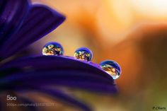 Photograph COLORS by chiara pirro on Water Drop Photography, Macro Photography, Amazing Photography, Paul Jean Toulet, Morning Has Broken, Dew Drops, Water Droplets, Spring Flowers, Class Ring