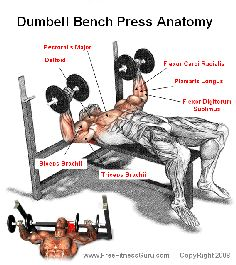 Working Out - the dumbell bench press anatomy - YourTrueFitnessHome.com
