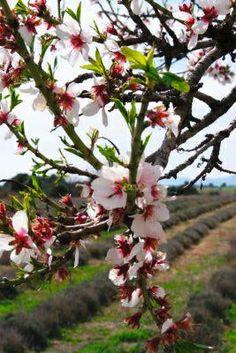 Almond Blossoms, Provence, France