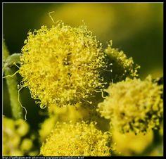 fotografie e altro...: Mimosa - macro - HDR - photographic processing (76...