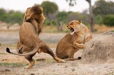 Back to Zimbabwe for Africa's greatest safari Animals Amazing, Cute Animals, Lion Couple, Lion Photography, Lion And Lioness, Beautiful Lion, Mundo Animal, Animal 2, African Animals
