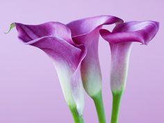 Purple Calla Lilies Fotografie-Druck