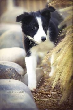 It's a big world out there....#BorderCollie #puppy