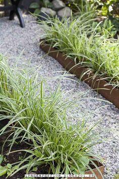 Japansk starr perfekt som kantväxt - vintergrön