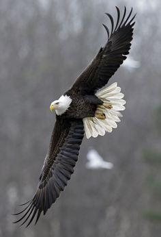 Águia careca sobrevoa o lagoB. Everett Jordan, por onde passa o rioHaw, na Carolina do Norte.
