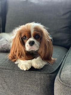 Are you wondering what the best small dog breeds for an apartment are? Since small dogs take up less space, many apartment dwellers prefer the smaller dog breeds. Here are 32 small dogs who make great companions for those who live in apartments or condos. King Charles Puppy, Cavalier King Charles Dog, King Charles Spaniel, King Spaniel, Spaniel Puppies, Best Small Dogs, Cute Small Dogs, Best Apartment Dogs, Sweet Dogs
