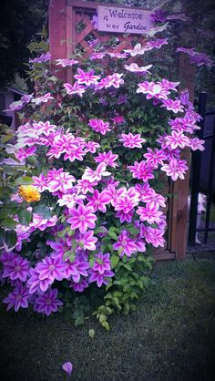 Clematis vines have three main requirements to thrive – sunlight on their stems and leaves; cool and moist but not wet roots; and support for climbing.