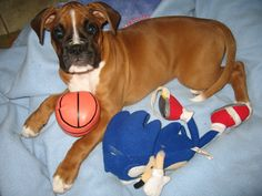 boxer obsessed! I WANT ANOTHER ONE!