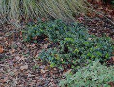 Ac Acacia Cousin Itt Front Yard Plants Pinterest
