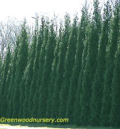 Thuja Green Giant Evergreen Trees Make a Gorgeous Privacy Hedge. Great privacy tree without the girth of a Leeland. Privacy Trees, Privacy Hedge, Privacy Plants, Garden Privacy, Fence Trees, Landscaping Around Deck, Privacy Landscaping, Landscaping Contractors, Evergreen Trees