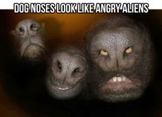 Dog noses look like angry aliens. I have no idea why this makes me laugh so hard. Haha It makes me laugh hysterically Judi! Scary Dogs, Funny Dogs, Funny Animals, Cute Animals, Funny Memes, Animal Memes, Funny Captions, Dog Memes, Videos Funny