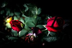 Digital image of an of Twin Roses Rose Shop, Digital Image, Red Roses, Twin, Awesome, Etsy, Twins