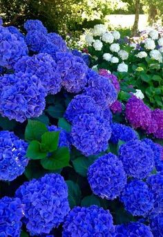 Best Indoor Garden Ideas for 2020 - Modern Amazing Flowers, Purple Flowers, Beautiful Flowers, Amazing Gardens, Beautiful Gardens, Hydrangea Garden, Pink Hydrangea, Flowers Nature, Small Gardens