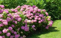 How to divide perennial plants and split oversize shrubs - David Domoney Red Shrubs, Tall Shrubs, Bushes And Shrubs, Evergreen Shrubs, Flowering Shrubs, Fast Growing Privacy Shrubs, Fast Growing Hedge, Shrubs For Privacy, Pruning Hydrangeas