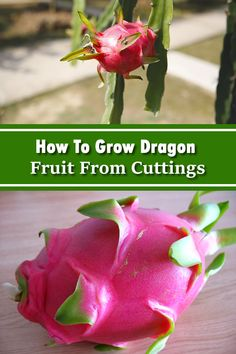 When I first started gardening I thought that everything needed to be grown from seeds Boy was I wrong I have since discovered how to grow curry leaf from fruitful How To Cut Dragon Fruit, Dragon Fruit Cactus, Dragon Fruit Smoothie, Growing Dragon Fruit, Dragon Fruit Benefits, Carrot Flowers, Low Light Plants, Growing Seeds, Cacti And Succulents