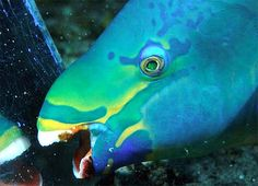 Parrot Fish – Misunderstood, or Miraculous Ocean Dwellers (Loro Fish) Parrot Fish, Parrot Toys, Puffins Bird, Bird Perch, Bird Toys, Fish Art, Ocean Life, Betta, Under The Sea