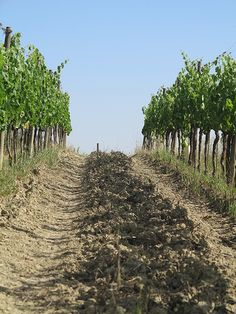 #Vineyards at Tenuta Valdipiatta, #Montepulciano, #Tuscany (Photocredits to Tenuta Valdipiatta + www.valdipiatta.it)