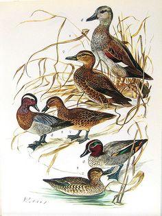 Birds 1972 Encyclopedia Print