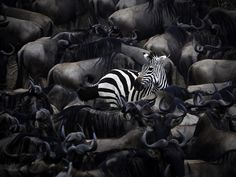 Africa |  Lone zebra in the midst of Wildebeest in Maasai Mara, Kenya  |   © Naomi Roberts