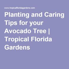 Planting and Caring Tips for your Avocado Tree Growing Vegetables, Fruits And Vegetables, Lychee Tree, Avocado Tree, Fort Myers, Things To Do, Planting, Florida, Tropical