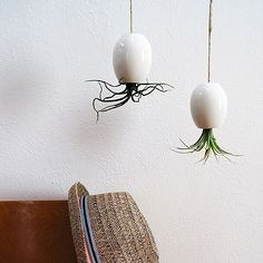 Charming Hanging AirPlant Pod Pictures Gallery