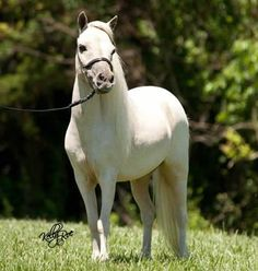Miniature Mares for Sale from top US breeders