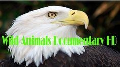 Documentary, Bald Eagle, Wild Animals