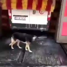 Stray dog uses car wash as automatic petting machine. Linda, a stray dog in Turkey, comes to the same car wash a couple times a week to use the automatic petting machine (Dogan News Agency) Cute Funny Animals, Funny Animal Pictures, Funny Cute, Funny Dogs, Funny Humor, Super Funny, Hilarious, Cute Puppies, Cute Dogs