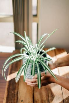 Having plants in and around your home not only looks beautiful, they also have amazing health benefits, such as reducing stress and depression. Flowers increase positive energies and soothe and relax the soul. Plants in the home also increase productivity and vitality. Stress And Depression, Increase Productivity, Diy Garden Projects, Growing Herbs, Rooftop, House Plants, Health Benefits, Balcony, Relax