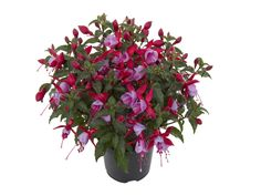 Bella Fuchsia Nikita - The blooms of these varieties have outward and upward facing flowers, meaning no more hidden blooms. Flowers all summer long!
