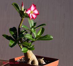 Adenium obesum plant