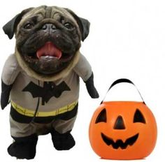 """Halloween Costume Party~ Pin a pic of YOUR pug in costume......VOTE on your favorite costumes by """"Liking"""" the picture!"""