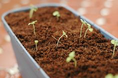 How to Grow Basil from Seed with Step-by-Step Pictures - wikiHow