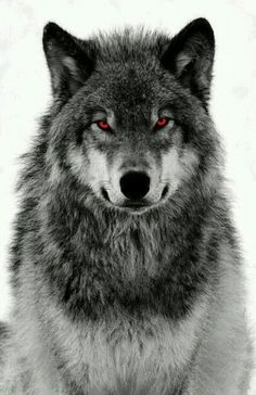 When genetics go bad and a hybrid of man and wolf is created Wolf Tattoo Design, Wolf Photos, Wolf Pictures, Wolf Love, Wolf Tattoos, Shadow Wolf, Wolf Eyes, Alpha Wolf, Wolf Spirit Animal