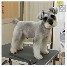 Ranked as one of the most popular dog breeds in the world, the Miniature Schnauzer is a cute little square faced furry coat. Schnauzer Cut, Schnauzer Grooming, Standard Schnauzer, Miniature Schnauzer Puppies, Pet Grooming, Black Schnauzer, Giant Schnauzer, Schnauzers, Miniature Schnauzer Black