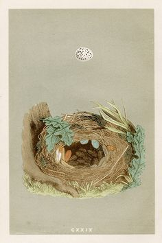 F.O. Morris Nests and Eggs Prints 1853