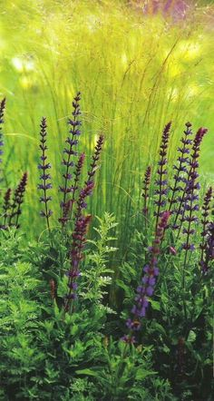 Feathered grass and Purple Rain salvia