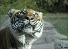 Westward Look Resort in Tucson, AZ   Baheem is an 11 year-old Malayan tiger at Reid Park Zoo in Tucson, AZ