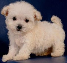 teacup maltese poodle puppies | Zoe Fans Blog