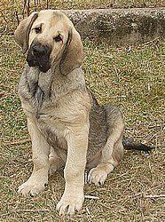 wi - spanish mastiff... so cute!