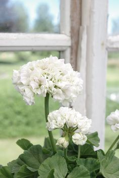 g ℯ r a ɳ i u m  Simple White geraniums look so elegant.