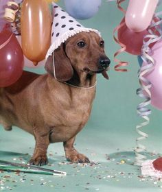 Dachshund dressed for a birthday party!